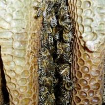Bienen im Hornissenhaus
